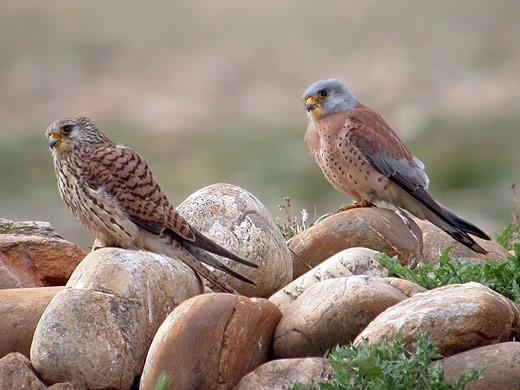 Couple de faucons crécerelle