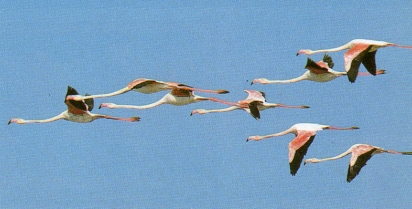 Flamants rose en vol