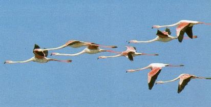 Flamants rose1