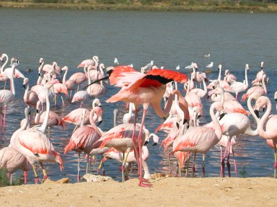 Groupe de flamants rose