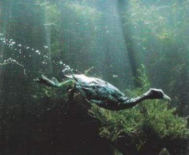 Foulque macroule se déplaçant sous l'eau, plantes aquatiques