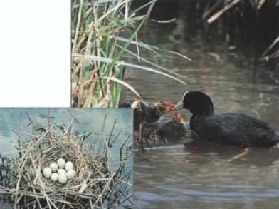 Foulque macroule avec oisillons sur l'eau + vue d'un nid