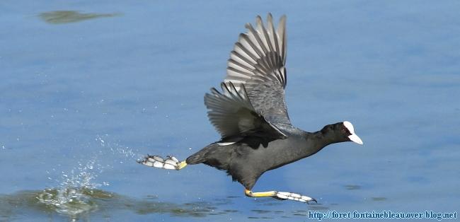 Foulque macroule courant sur l'eau, aile déployé