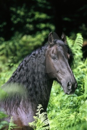 Frison portrait nature
