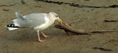 Goéland argenté mange