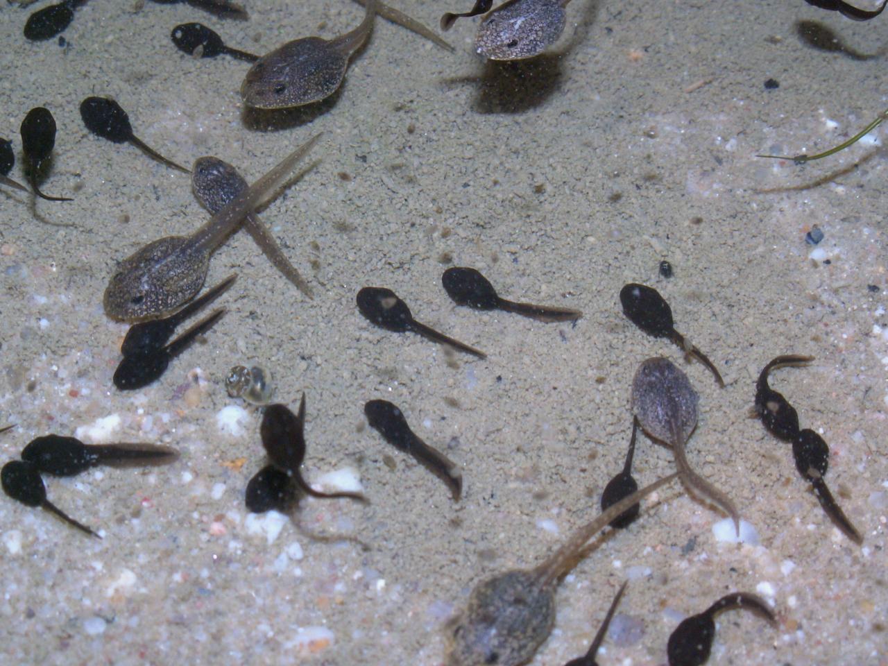 Tétards de grenouilles rousse, les grand à couleur grise.