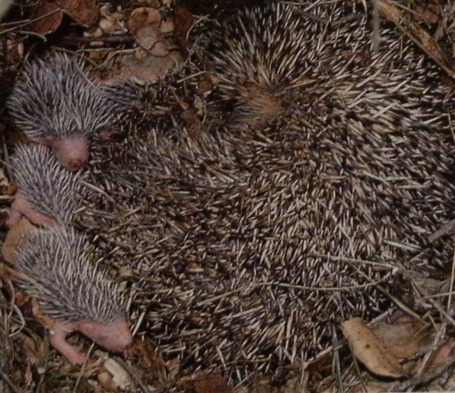 Femelle hérissons au nid avec ses nouveaux-nés