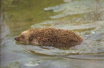 Hérisson entrain de nager