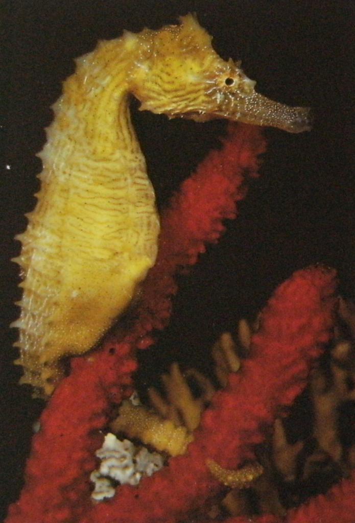 Hippocampe de couleur jaune vif, accroché à du corail rouge