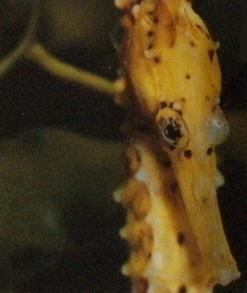 Hippocampe jaune, tête vue de face