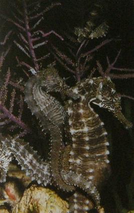 Couple d'hippocampes accroché ensemble près de végétation marine