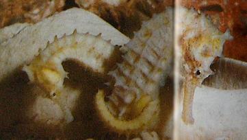 Deux hippocampes nouveaux-nés