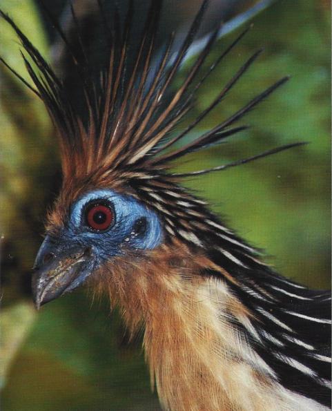 Hoatzin vu de profil