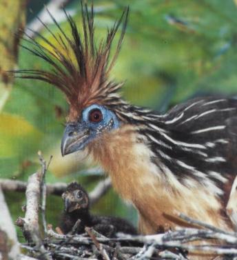 Hoatzin femelle au nid avec un petit