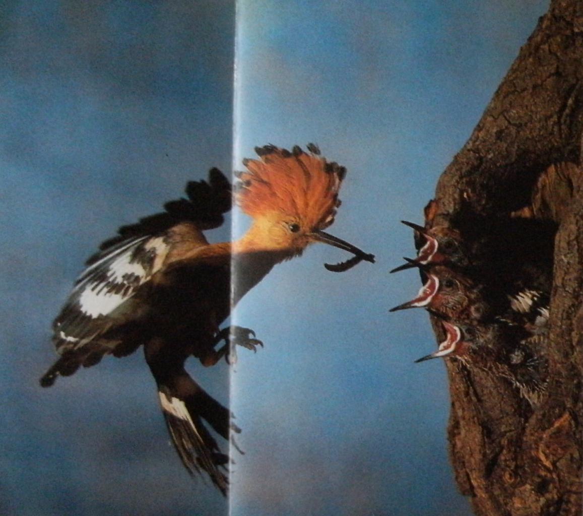 Huppe fasciée nourissant oisillons au nid