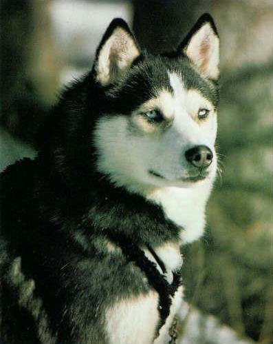 Husky portrait