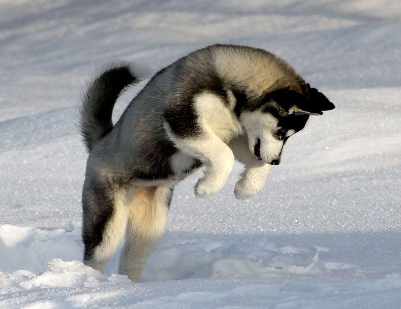 Jeune husky sautant dans la neige
