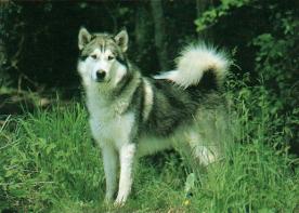 Husky debout dans l'herbe
