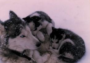 Husky et ses chiots