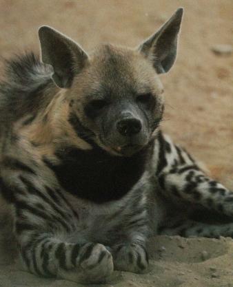 Hyène rayée1