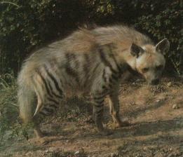 Hyène rayée2
