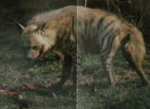 Hyène rayée entrain de manger des restes d'animal