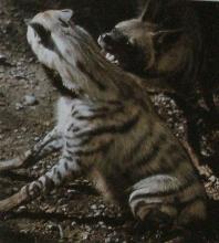 Deux hyènes rayée en relation de domination et soumission