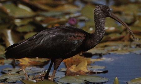 Ibis falcinelle debout dans l'eau, nénuphars.