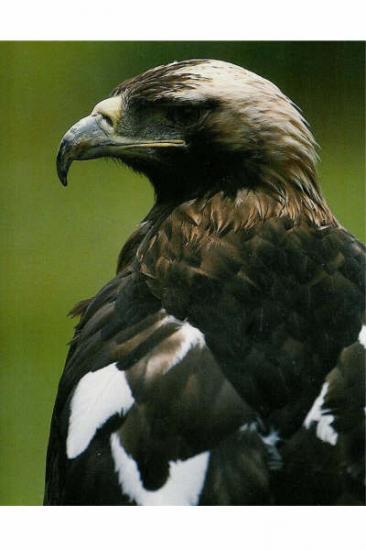 Aigle impérial portrait