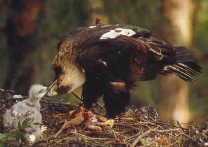 Aigle impérial et son petit au nid, le nourrit