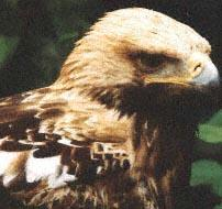 Aigle impérial vu de face, vu de près