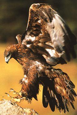 Aigle impérial qui se pose au sol