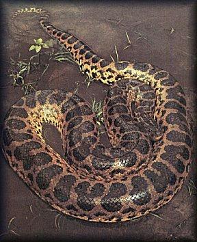 Anaconda sur sol humide