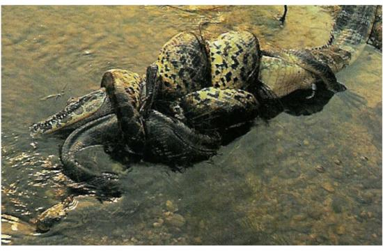 Anaconda enroulé autour de caïman