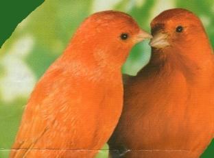 Canaris orange1