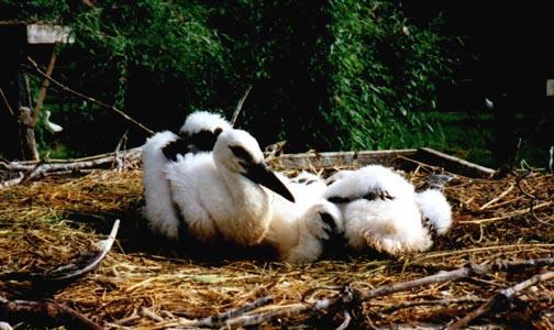 Jeunes cigognes blanche au nid