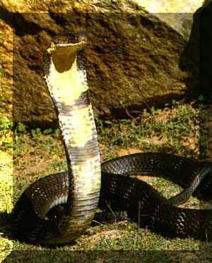 Cobra royal1