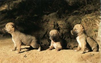 Dingos chiots1