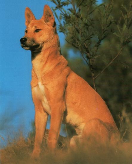 Dingo1