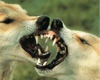 Dingos1