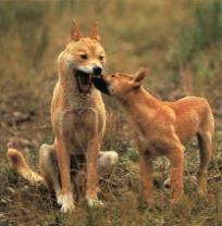 Dingos2