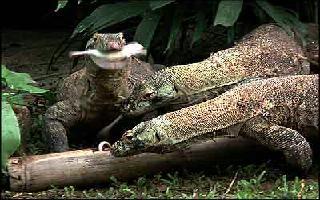 Dragons de komodo, dont un avec proie dans machoire