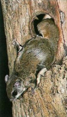 Ecureuil volant sortant de son trou