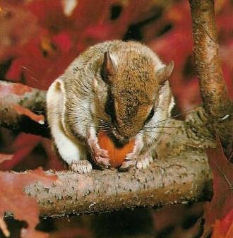 Ecureuil volant mange