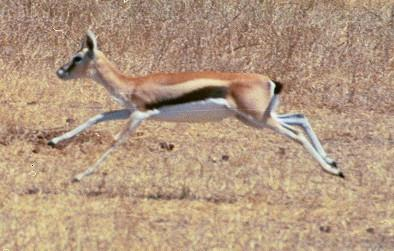 Gazelle Thomson court