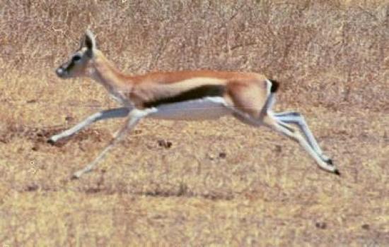 Gazelle de Thomson2
