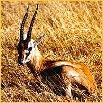 Gazelle Thomson au repos