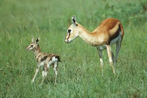 Gazelle Thomson et son petit