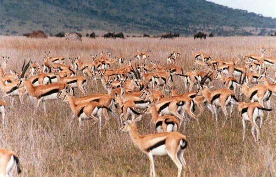 Gazelle de Thomson5