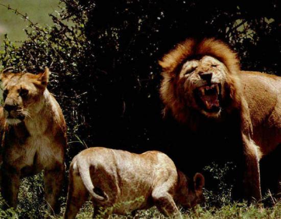 Lion et lionnes mangent